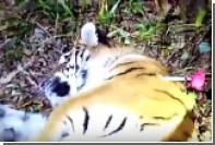 Интернет-пользователи дали имя гулявшему по Владивостоку тигру