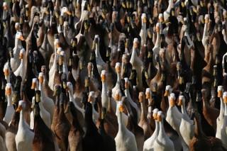 В Нидерландах уничтожили почти 200 тысяч уток