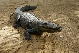 Египет решил заработать на экспорте крокодилов