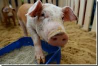 Британские ученые выяснили причины оптимизма свиней