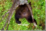 «Танцующего тверк» медведя показали на видео