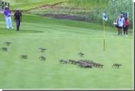 Стая мангустов «поучаствовала» в турнире по гольфу в ЮАР