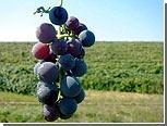 Экспорт молдавских вин в Россию будут осуществлять только его производители