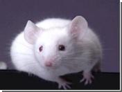 Японские ученые вырастили в теле мыши человеческую почку