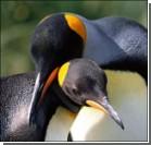 Пингвины-геи стали отцами