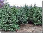 В Приднестровье новогодних елок хватит всем желающим