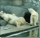 Медведям в зоопарке навязывали лесбийскую любовь
