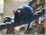 Ялте угрожает нашествие черных крыс