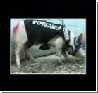 За прокурорский мундир на свинье назначили штраф