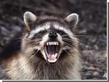 Нью-йоркский Центральный парк атаковали бешеные еноты