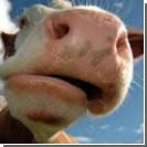Корова удивила своих хозяев, запрыгнув  на 2-метровую крышу