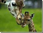 Украинские пограничники вернули в Россию контрабандных жирафов