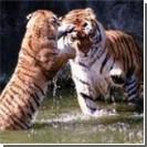 Три тигра чуть не загрызли дрессировщика в зоопарке