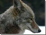 На озере Мичиган спасли дрейфовавшего на льдине койота