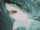 Акулы-людоеды скоро доплывут до Крыма?