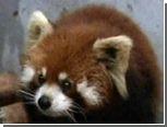 В гости к китайской семье пришла малая панда