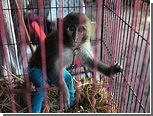 "В Пакистане поймали обезьяну-""нелегала"""