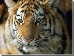 В Москве на пустыре нашли ящик с тигром