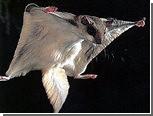 В приемном отделении скорой помощи поймали белку-летягу