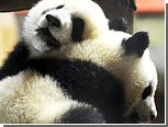 Китай отдаст Франции двух больших панд