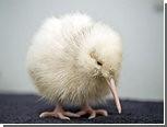 В Новой Зеландии вылупился второй белый киви за год