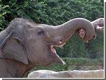 У слона нашли шестой палец