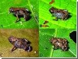 Найдены самые маленькие в мире лягушки