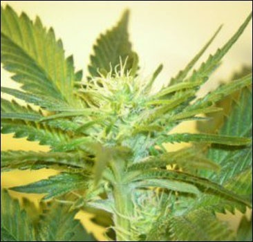 В Чехии разрешили продавать марихуану