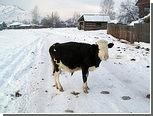 В Томске новогодние елки скормят коровам