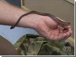В стене австралийского детского сада нашли ковровых змей
