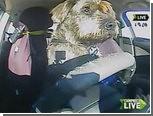 Бездомные псы сдали экзамен по вождению