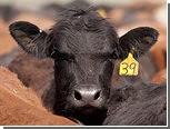 В Казахстане корова спасла хозяина от волка