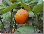 Грузия начала поставлять в Россию апельсины и мандарины