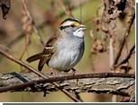 Меломанов сравнили с самками певчих птиц