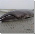 Ученые нашли на берегу редкого карликового кита. Фото