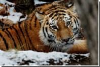 Российские ученые предложили пересчитать амурских тигров в КНДР