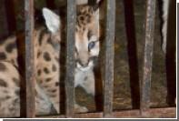 Родившиеся в зоопарке Саранска пумы получили имена Суарес, Неймар и Месси