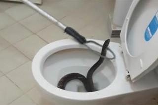Крупную змею вытащили из унитаза в Таиланде