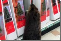 Бобр устроил погром в американском магазине