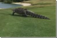 Гигантский аллигатор вернулся на поле для гольфа во Флориде