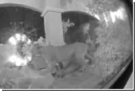 Пума убила оленя на пороге дома жителя Калифорнии