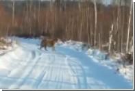 Выход амурского тигра к жителю Приморья сняли на видео
