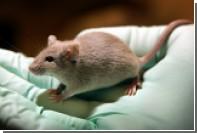 Преждевременно стареющих мышей омолодили антибиотиком
